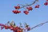 Red Berries (l4ts) Tags: landscape derbyshire peakdistrict darkpeak berries red bluesky autumn autumncolour closeuplens