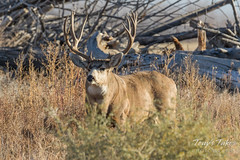 A very handsome Mule Deer buck