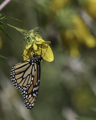 MonarchButterfly_SAF2324 (sara97) Tags: danausplexippus butterfly copyright©2017saraannefinke endangered insect missouri monarch monarchbutterfly nature photobysaraannefinke pollinator saintlouis