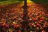 Fall Carpet (Matt Champlin) Tags: leaf leaves fall autumn evening sunset foliage colorful park auburn cny canon 2017 mattchamplin