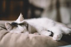 2017.10.5: lou (Nazra Z.) Tags: cushion sleeping natural light vscofilm cat munchkin male tabby home okayama japan raw 2017