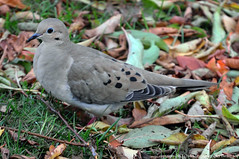 2017-11-16 Mourning Dove (01) (1024x680) (-jon) Tags: anacortes fidalgoisland sanjuanislands fidalgobay skagitcounty skagit washingtonstate washington salishsea dove pigeon mourningdove zenaidamacroura a266122photographyproduction bird