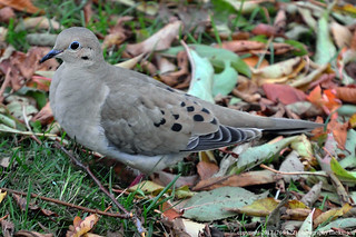 2017-11-16 Mourning Dove (01) (1024x680)