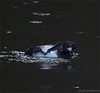 KUSA-8197 (Weinstöckle) Tags: reiherente vogel enz