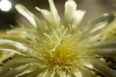 _DSC1833 (wdeck) Tags: cactaceae cactus