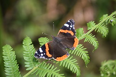 Red Admiral (Worthing Wanderer) Tags: yorkshire nationalpark northyorkshiremoors northyorkshire cloudy overcast cloughton spring june railtrail coast cliffs clifftop cliff