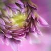Dahlia descending (MontanaRoots (aka Craig)) Tags: bloom descending purple lavendar
