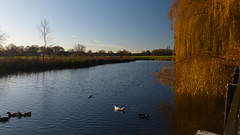 20171124 Wlk frm Chch Warsop_0010 Mill Pond~Church Warsop (paul_slp5252) Tags: nottinghamshire churchwarsop willowtrees millpond