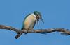 sacred kingfisher (Todiramphus sanctus)-5619 (rawshorty) Tags: rawshorty birds canberra australia act jerrabomberrawetlands
