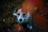 In your Eyes (moaan) Tags: lomographyzenitpetzval85mmf22 kobe hyogo japan jp dog jackrussellterrier kinoko portrait sitting lookingatthecamera middleofthewalking rest lookingup dof depthoffield bokeh swirlybokeh bokehphotography 85mm f15 canon canonphotography canoneos5dsr utata 2017 dogportrait