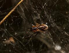 Frontinella communis (TheWildCarrot) Tags: arachnids araneae arthropods canon canon100mm400mmisii canon70d linyphiidae mindenmines missouri prairiestatepark spiders