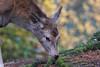 2017-11-30-SBB-0041.jpg (BZD1) Tags: reddeer natuur edelhert nature cervuselaphus sbb safariparkbeeksebergen mammal animal hilvarenbeek noordbrabant nederland nl