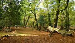 New Forest NP, Hampshire, England (east med wanderer) Tags: hampshire england uk newforestnationalpark beech oak holly nationalpark woodland autumn