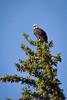 Jackson Hole 1707-1739.jpg (DevonshireMedia) Tags: wyoming jacksonhole travel 2017 grandtetons baldeagle eagle tetons