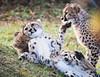 Cheetah Cubs Playing (b.m.a.n.) Tags: toronto cheetahs torontozoo nikond850 cheetah bigcats zoo animals animal