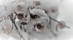 Ingesneeuwd / Snowbound (wilma HW61) Tags: winter vinter inverno hiver sneeuw snow schnee takken neve neige branches rami zweige macro doff dull depthoffield natuur nature natur naturaleza nederland niederlande nikond90 netherlands holland holanda paysbas paesibassi paísesbajos europa europe wilmahw61 wilmawesterhoud outdoor