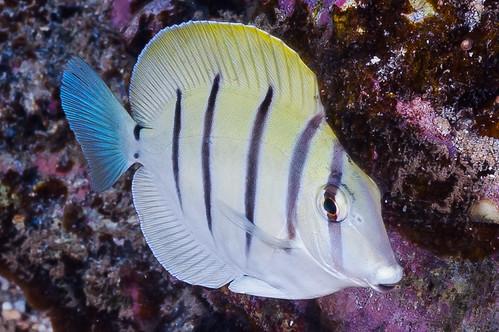 Convict Surgeonfish, subadult - Acanthurus triostegus