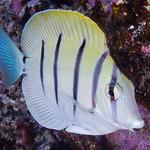 Convict Surgeonfish, subadult - Acanthurus triostegus thumbnail