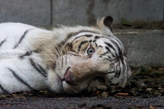 Rocky ♂ - I Looked at You - You Looked at Me (Belteshazzar (AKA Harimau Kayu)) Tags: rocky kara tiger zoo animal bigcat bigcats feline bengaltiger pantheratigristigris königstiger indischertiger eltigredebengala tigredubengale latigrerealedelbengala бенгальскийтигр 孟加拉虎 whitetiger weisertiger tigreblanco tigreblancroyal белыйтигр 孟加拉白虎 zooshot tobu tobuzoo snowwhite sunbathing canada playful playfulcat playfultiger playfulwhitetiger bengal