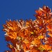 maple leaves against sky, Swannanoa River shopping center
