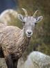 Grass Chewing Ewe... (DTT67) Tags: bighornsheep sheep ewe mammal animal wildlife nature nationalgeographic canon wyoming