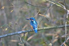 Eurasian kingfisher (James L Taylor) Tags: willington gravel pits derbyshire wildlife trust 81117 bird birding nature animal alcedo atthis eurasian kingfisher