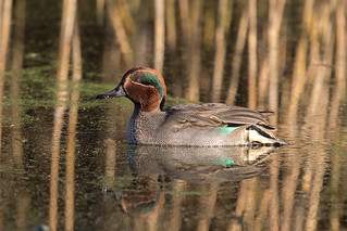 Teal at Greylake
