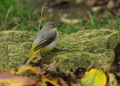 Grey Wagtail autumn garden visitor  (4) (Simon Dell Photography) Tags: grey wagtail yellow belly underside jay micro garden christmass tree festive bird nature wildlife uk england sheffield hackenthorpe s12 pond winter autumn leafs simon dell photography pentax k50