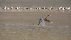DSC04896 (Matthew283) Tags: bolvar wildlife 11182017 reddish egret