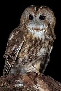 Tawny Owl (Strix aluco) (f)