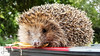 Rescue Hedgehog (Images by Leah) Tags: paraparaumu wellington newzealand nz animal hedgehog rescue