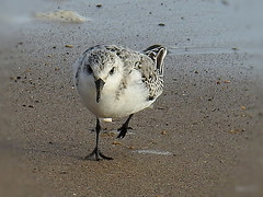 Sanderling (Diko G.W.) Tags: fraisthorpe eastyorkshire sanderling nikonp900