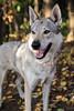 Vločenka - Smile (Crones) Tags: canon 6d canoneos6d canonef24105mmf4lisusm 24105mmf4lisusm 24105mm vločka csv čsv československývlčák canislupusfamiliaris vlčák vlcak dog wolfdog