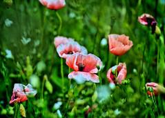 MOHNFELD (Gila98) Tags: mohn mohnfeld mohnblumen rot feld sommer grün farben mohnblumenfeld natur