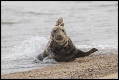 Seals (Thomas Winstone) Tags: horsey england unitedkingdom gb seals seal pup wild wildlife nature canon1dxmark2 3lt 3leggedthing thomaswinstonephotography bbc springwatch bbcspringwatch nationalgeographic canonuk canon 300mm28mk2 mammal mammals uk outdoor