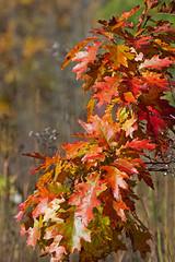 Autumn Glow (sarasonntag) Tags: fall color oak leaves red riveredge nature center saukville wisconsin 2017 october autumn