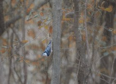 Shy WB Nuthatch (hmthelords) Tags: