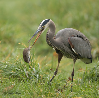 Great Blue Heron and Vole