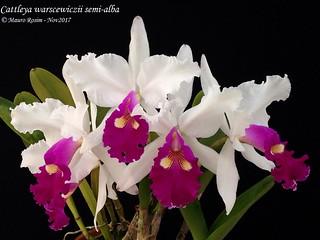 Cattleya warscewiczii semi-alba
