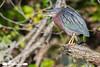 Little Green Heron On Branch (freshairphoto) Tags: little green heron branch memorial lake state park indiantowngap pa wading artspearing nikon d500 200500 zoom handheld kayak