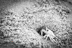 Crab BW at the Padre Island National Seashore near Corpus Christi, TX - 20170814CNP (Christopher Neel Photography) Tags: sand beach padre island national seashore corpus christi texas ocean gulf mexico crap fauna christopher neel photography adventure travel hiking swimming pincer underground home crustacean fine art