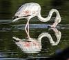 flamenco y su reflejo (ibzsierra) Tags: ibiza eivissa baleares canon 7d tsmro 150600 g2 ave bird oiseau salinas parque natural tamronsp150600mmf563divcusdg2a022