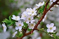 Spring blossom (tomas.jezek) Tags: spring blossom nature tree macro dof bokeh branches green white brown