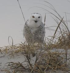 Snowy owl (Vladimir & Elena) Tags: nature wildlife animals birds owl raptors snowyowl