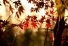 Maple 楓 (MelindaChan ^..^) Tags: maple 楓葉 gyeongju skorea 韓國 慶州 plant leave colors autumn fall bokeh minolta250mmf56 chanmelmel mel melinda melindachan