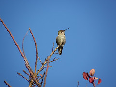 Anna's Hummingbird (ambrknr) Tags: hummer humming anna calypte hummingbird annas bird