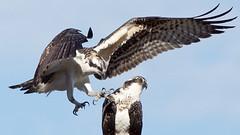 Osprey Young (photosauraus rex) Tags: birds raptors osprey youngosprey bird vancouver bc canada pandionhaliaetus
