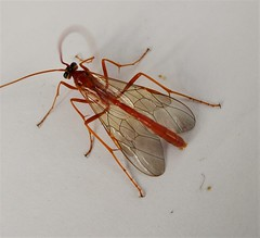 Ichneumon, Netelia species? (gailhampshire) Tags: ichneumon neteliaspecies