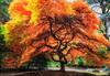 Unruly (KPortin) Tags: japanesemaple kubotagarden seattle tree autumn path