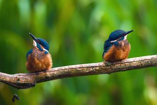 juvenile kingfishers